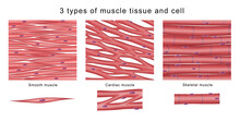3 Types Of Muscle Tissue And Cell