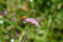 A Close Up Of Small Skipper (Thymelicus Sylvestris) On Lilac Flower Of Field Scabious (Knautia Arvensis, Meadow Widow Flower, Blue Button), Natural Green Blurred Background