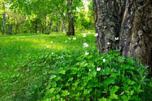 White Flowers In The Forest. A...