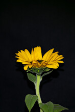Isolated Sunflower On Black Background