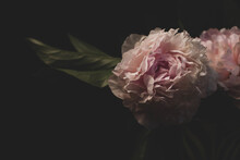 Pink Peony Flower On Black Bac...