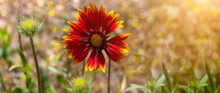Natural Colorful Blooming Website Header. Red Zinnia Flower In The Meadow With Bokeh Blurred Background. Amazing Wild Orange Flower Wallpaper. Nature Photography With Copy Space. Floral Greeting Card.