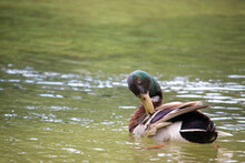 Cute Brown Duck With A Green H...