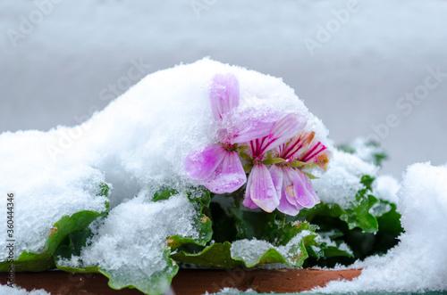 Geranio rosa fiorito sotto la neve Canvas Print