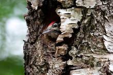 Cute Woodpecker Bird Peeking O...