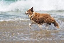 Happy Dog Running Along The Sh...