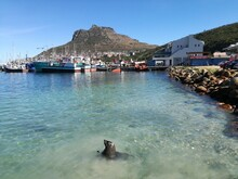 Seal At Hout Bay In Cape Town