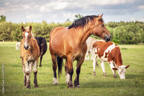 Fotografia Horses and cows on the meadow. Summer grassland at agriculture.