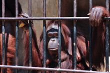 Orangutans Lack Freedom In The Cage Of The Zoo.Orangutan Feels Sad Because Of Lack Of Freedom