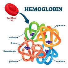 Hemoglobin In Red Blood Cells As Oxygen Transport Metalloprotein Scheme.