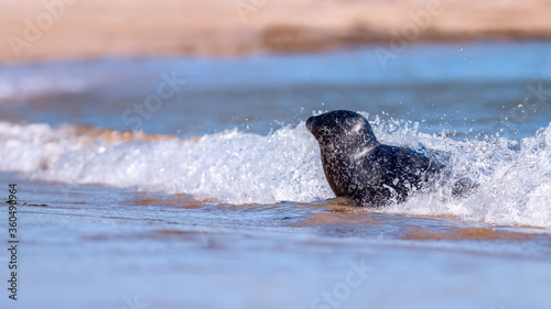 Photo Common seal (harbour seal) coming ashore with ocean surf on a sunny day