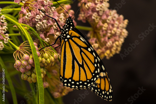 a monarch butterfly on their favorite flower, a milkweed.