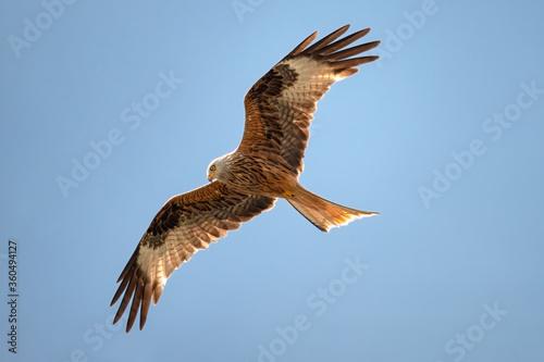 Red kite, Milvus milvus, in flight in clear blue sky, a bird of prey in the fami Wallpaper Mural