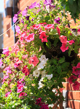 Hanging Basket Full Of Cascading Brightly Coloured Petunias.  There Are Various Colours Of Purple, Red, White, Pink.  A Stunning Display Of Flowers On A Summer Day