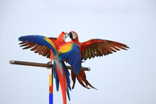 Two Macaws Parrot On The Perch...
