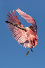 Roseate Spoonbill Coming In To Land