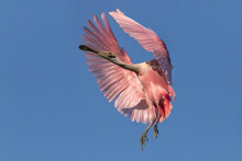 Roseate Spoonbill Coming In To...
