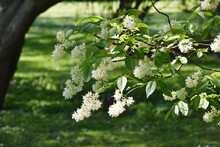 Tree Branches Of Staphylea Col...