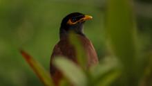 Mynah Bird In The Grass