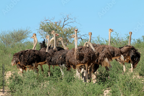 canvas print motiv - EcoView : Group of ostriches (Struthio camelus) in natural habitat, Kalahari desert, South Africa.