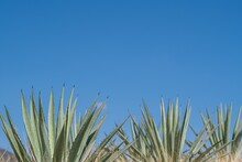 Low Angle Shot Of Exotic Espadin Agave Plants Under The Clear Blue Sky In Oaxaca, Mexico
