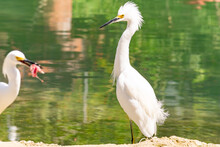 Snowy Egrets Standing By The Water On A Riverbank. Another Walks By With Fresh Kill Fish Meat For Food In Its Bill. These Wild Birds Have White Plumage, Long Black Beaks, Yellow Lores And Yellow Feet.