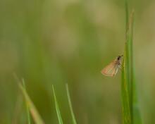 Skipper Butterfly On Grass