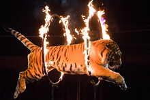 Circus.Tiger Jumps Through Fire