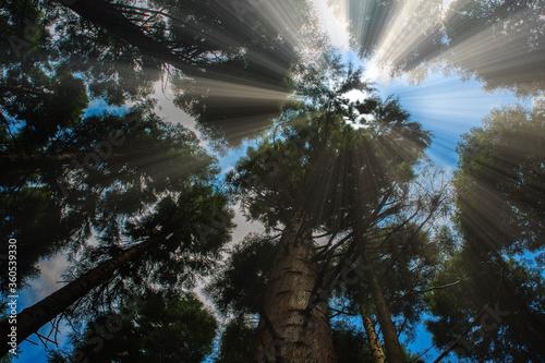 Sun penetrating tree tops Canvas Print