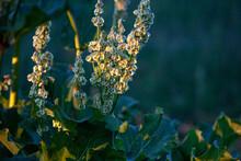 Garden Rhubarb Flowers In The Sunset In Warm Summer Evening