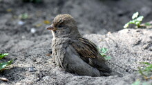 House Sparrow In The Beginning Makes A Bath, Tearing A Hole, And Then There Is Bathed.