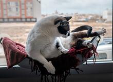 Gato Gordo Blanco Y Negro Intenta Levantarse De Una Hamaca Junto A La Ventana