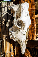 Sun Bleached Skull Of Large Animals Such As Cow, Horse, Or Mule. Hanging On Wooden Fencepost In Desert