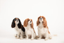 Studio Photo Of Three Cavalier King Charles Spaniels On A White Background