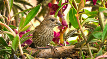 House Finch Eating Sunflower Seeds