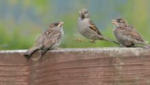 House Sparrow Feeding Young Ch...