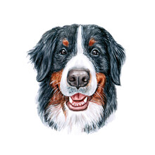 Watercolor Illustration Of A Funny Dog. Hand Made Character. Portrait Cute Dog Isolated On White Background. Watercolor Hand-drawn Illustration. Popular Breed Dog. Bernese Mountain