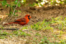 Northern Cardinal Male Eating Grain On The Ground.