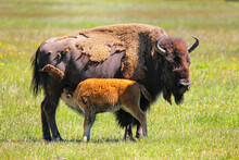 Female Bison With A Calf Nursing, Yellowstone National Park, Wyoming