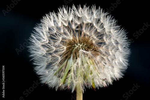 Fototapety, obrazy: Mid way shot of a white dandelion flower