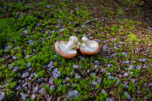 Two Pink Mushrooms With White Gills Upside Down On Forest Soil Ground