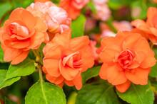 バラ咲きインパチェン...