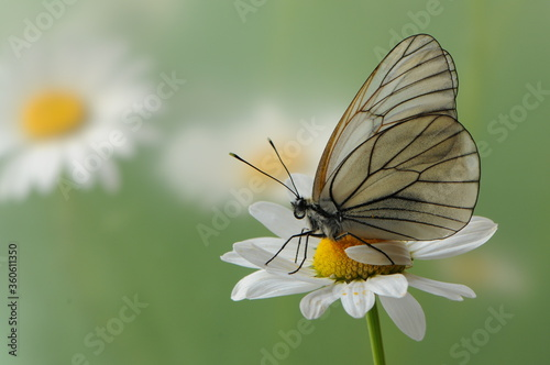 Photo The butterfly Aporia crataegi butterflyrus sits on a summer morning on a daisy f