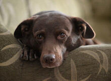 Cute Snuggling Brown Dog On So...