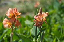 Cannas Are Perennial Herbaceou...