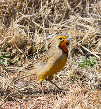Cape Longclaw (Macronyx Capensis) Or Orange-throated Longclaw Closeup Standing In Dry Grass In South Africa
