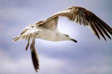 Beautiful Seagull Flies In The...