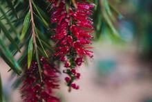 Native Australian Bottle Brush Callistemon Plant With Red Flowers Covered In Raindrops