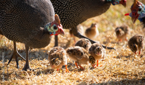 Guineafowl parent feeding with its baby keets. Canvas Print