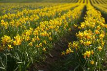Field Of Daffodils, Tenby, Pembrokeshire, Wales